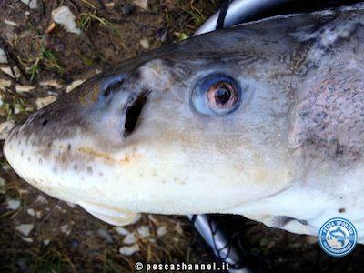 storione pesca testa